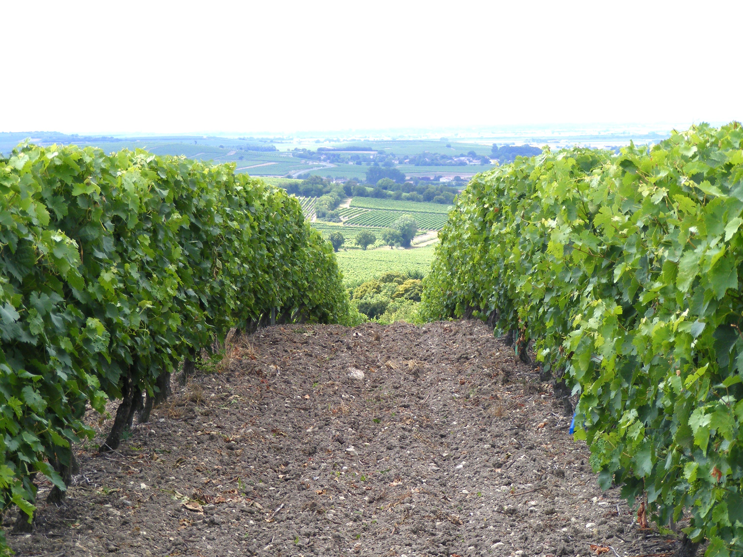 Cognac vineyard in France