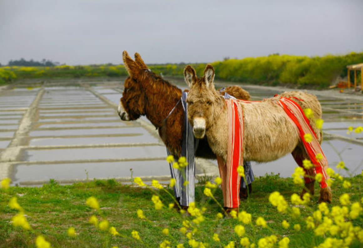 underpant donkeys on the Ré Island