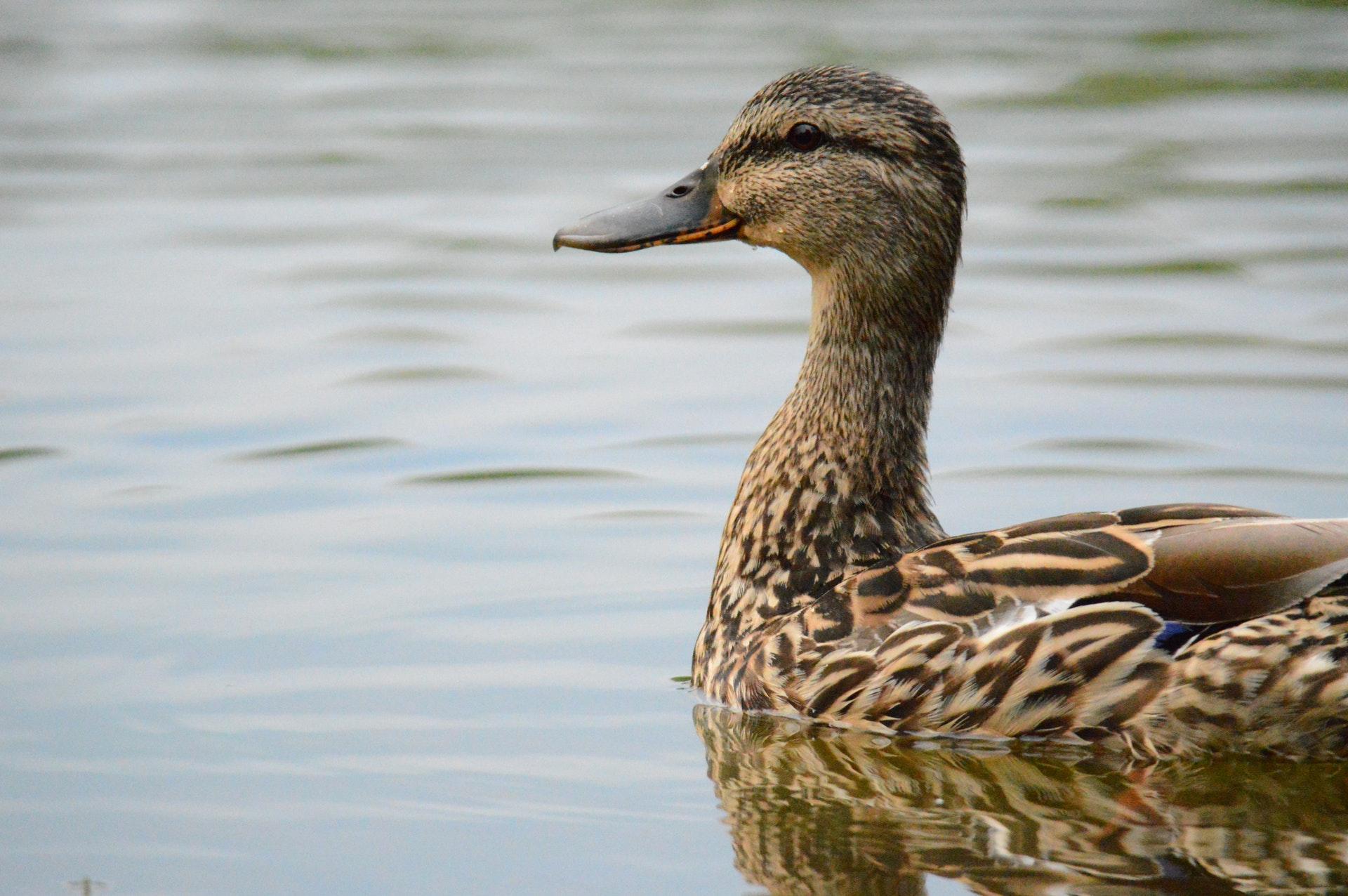 duck-cabane-de-moins-atlantic-cognac