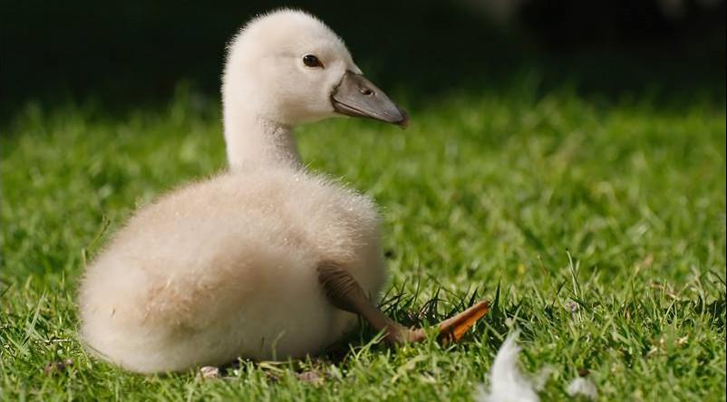 marais-aux-oiseaux-baby-swan-atlantic-cognac